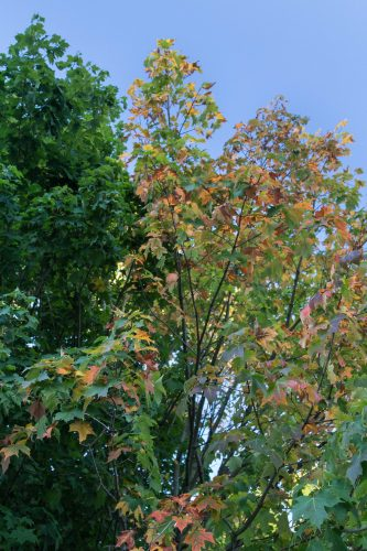 Changing Leaves in Wind Point | Copyright: Rose Clearfield